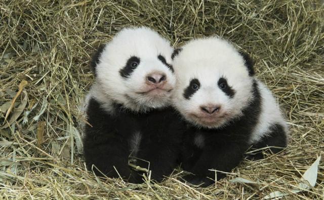 Photo (c) Daniel Zupanc. Cliquez ici pour accéder au site du zoo de Schönbrunn