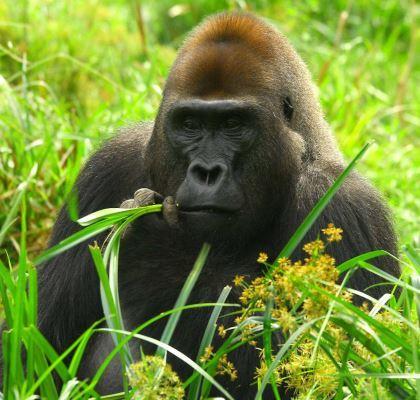 Le mâle au dos argenté du groupe d'étude. Gorille de l'Ouest du Parc National de Dzanga-Ndoki, République Centrafricaine. © Shelly Masi / MNHN