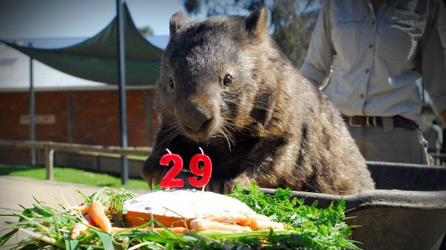 Cliquez ici pour accéder à la page Facebook de Patrick le wombat