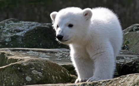 L'ourson Knut en 2007. Photo (c) Jens Koßmagk