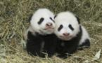 Première apparition publique des jumeaux Fu Ban et Fu Feng