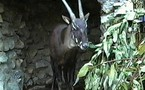SAOLA, l'un des animaux les plus rares du monde