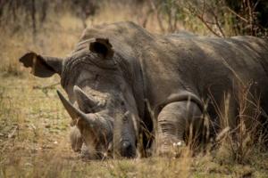 Le WWF complice des gardes forestiers corrompus
