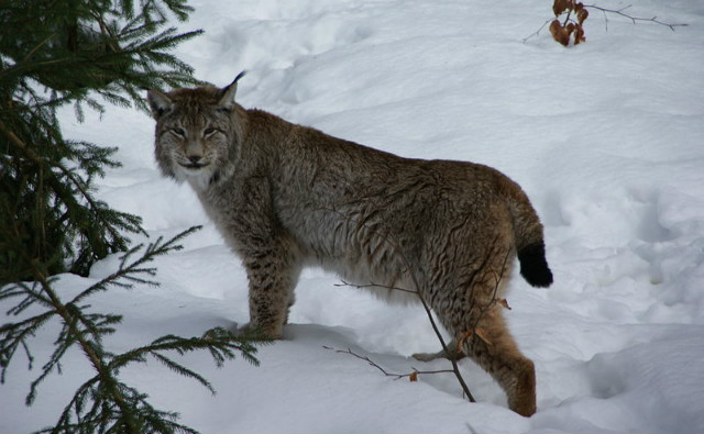 Lynx en Allemagne. Photo (c) Aconcagua