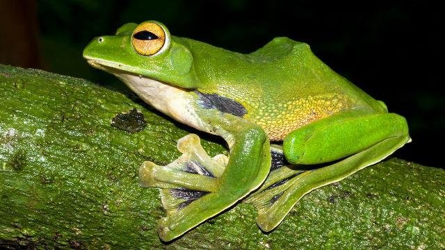 La grenouille volante d'Hélène (Rhacophorus helenae). Photo courtoisie (c) WWF