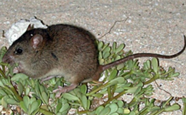 Melomys rubicola. Photo (c) Ian Bell, EHP, State of Queensland