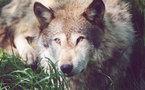 En attendant les loups