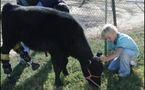 Une vache 'animal de compagnie' reçoit des prothèses