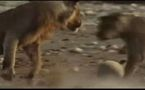 CLIP VIDEO: Les animaux jouent au foot