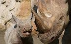 PROJET DE LA DERNIERE CHANCE: Le zoo tchèque de Dvur Kralove tente de sauver le rhinocéros blanc du nord au bord de l'extinction en transférant les animaux au Kenya