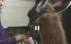 Fantik, le lama de compagnie