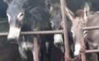 Le calvaire des ânes tués pour fabriquer une gélatine