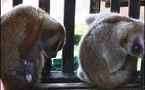 Sauvetage de lémuriens