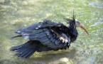 L'ibis chauve renaît en Espagne