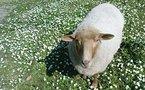 Woolite, la brebis égarée et adoptée