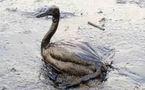Hommage aux animaux innocentes victimes de la marée noire