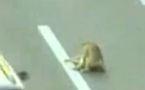 Un chien à la rescousse d'un autre chien, renversé sur l'autoroute