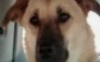Target, chien héros de la guerre d'Afghanistan, euthanasié par erreur en Arizona