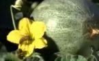 Les abeilles disparaissent, toute l'humanité en subira les conséquences