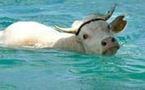 Teresa la vache échappe à l'abattoir grâce à Facebook