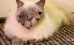 Un chat à deux têtes atteint 12 ans!