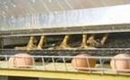 3 millions de poules élevées en toute illégalité