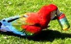Le Kiki de Marsu, perroquet vedette de cinéma