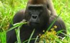 Les saisons influencent la santé des grands singes