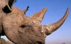 1004 rhinos tués par les braconneurs en Afrique du Sud