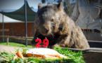 Patrick, le plus vieux wombat du monde