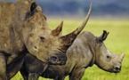Année noire pour les rhinocéros d'Afrique du Sud