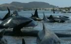 Le fait divers de la semaine 7: 200 baleines échouent en Nouvelle-Zélande