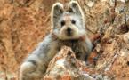 Le très mignon Ili Pika menacé d'extinction