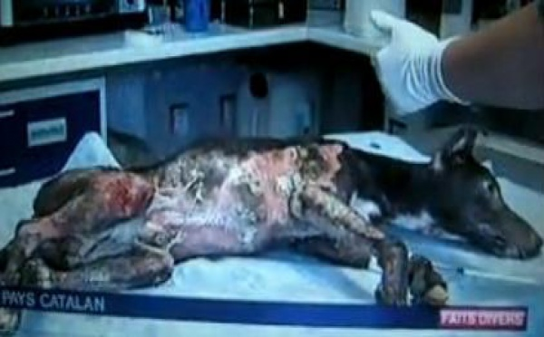 Mambo, chien martyre, a eu gain de cause au Tribunal