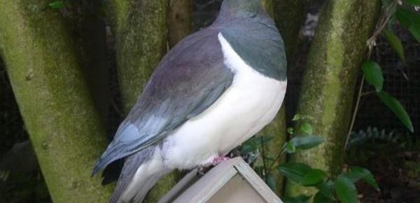 Saoul comme un pigeon néo-zélandais