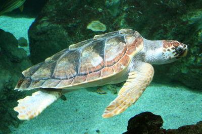PROTECTION DE LA NATURE: Remise en liberté de deux tortues caouannes