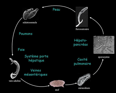 Cycle de vie du schistosome (par Fvanhout)