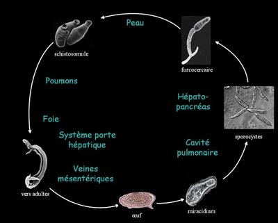 Cycle de vie du schistosome (par Fvanhout)