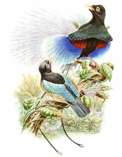 le paradisier bleu ou paradisaea rodolphi