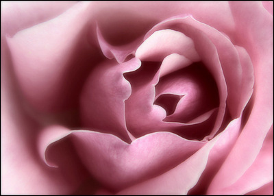 La métaphore de la rose