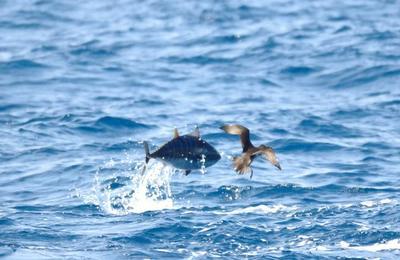 Monaco dépose sa demande d'inscrire le thon rouge de l'Atlantique à la CITES