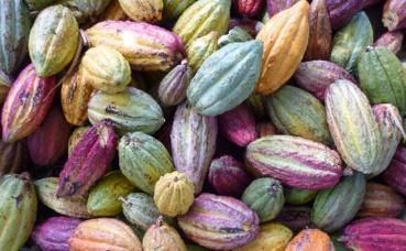Le chocolat Ruby est élaboré à partir de cabosses de cacao sélectionnées avec soin, lui donnant naturellement et sans colorant sa couleur rose. Photo (c) Philstone