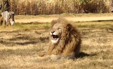 Lion protégé d'Afrique du Sud dans une réserve naturelle à Johannesburg. Photo (c) Tanguy Lepage.