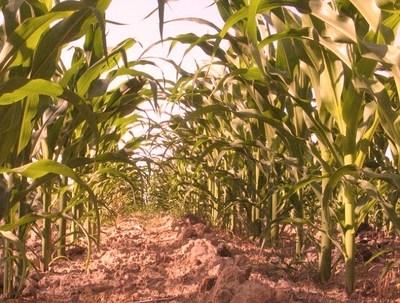 Le Bénin compte sur le maïs pour produire de l'éthanol. Photo (c) DR