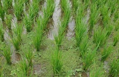 La production du riz béninois en 2009 est de l'ordre de 133318 tonnes, soit une hausse de 34,26% par rapport à 2008. Photo (c) DR