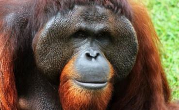 Orang-outan. Image du domaine public.