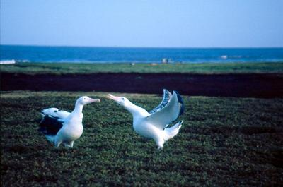 Parade nuptiale d'Albatros hurleurs. Photo prise aux Kerguelen par L. Guerin.