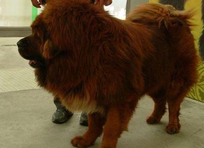 Zangao, mastiff tibétain, mars 2008 (c) Yeti