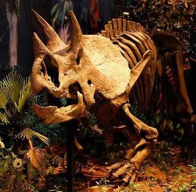 Squelette de tricératops. Image (c) Tadekk