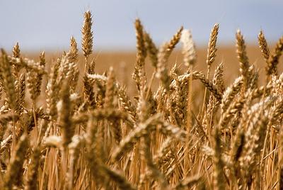 Le blé (c) Jean-Michel Chuiche